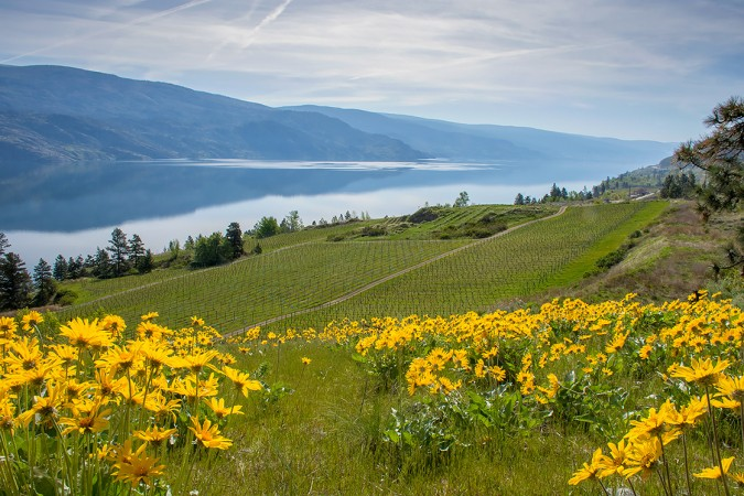 Spring Balsamroot Over Okanagan Lake 160419-1664