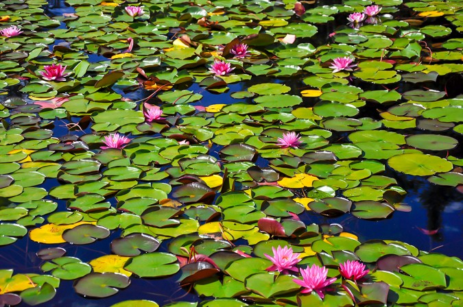 Water Lilies 0077